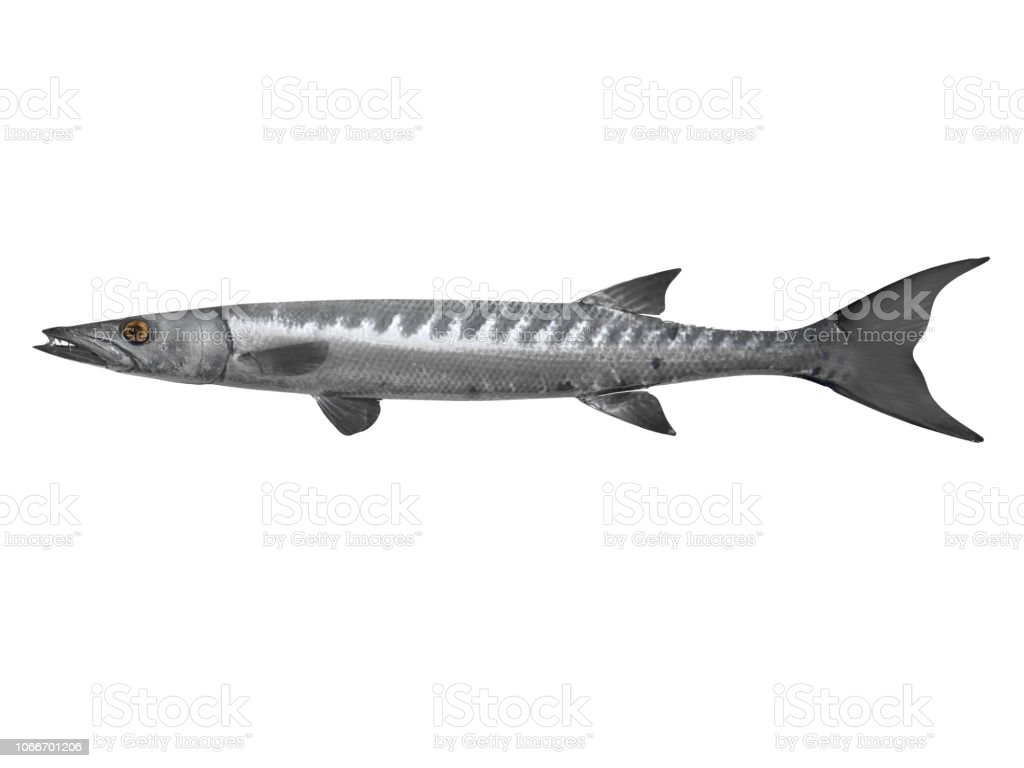 Cutout side view  image of Barracuda  fish 3d Render stock photo