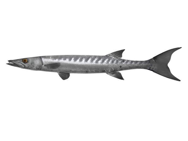 Imagem de exibição do lado do entalhe de Barracuda peixe Render 3d - foto de acervo