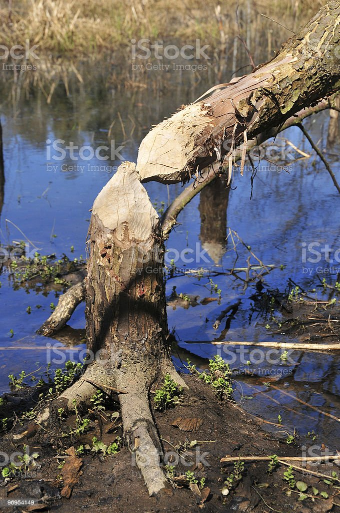 cutted down by beavers royalty-free stock photo