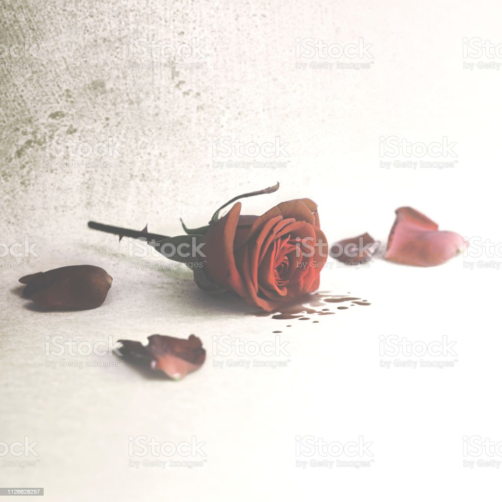 cutted rose crying blood from the petals, wounded love stock photo