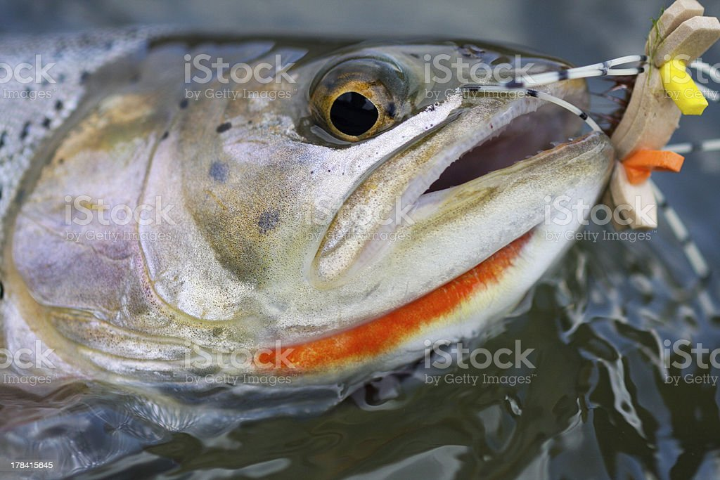 Cutthroat And A Fly royalty-free stock photo