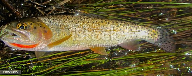 Sparkling Cutthroat trout Caught on Dry Fly Lies on Grassy Streamside Bank