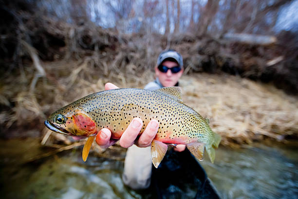 Cutthroat Trout Flyfishing Colorful cutthroat trout caught fly fishing on Washington's Yakima River. cutthroat stock pictures, royalty-free photos & images