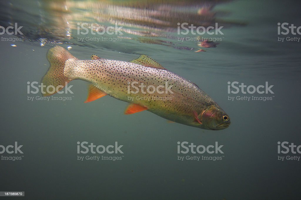 Cutthroat trout in clear blue water stock photo