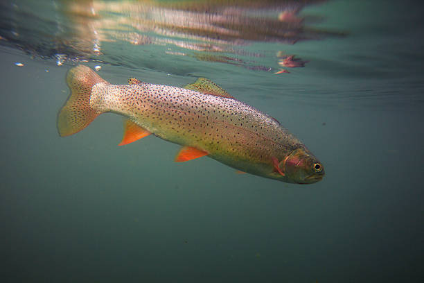 Cutthroat trout in clear blue water An underwater view of a cutthroat trout in a deep lake. cutthroat stock pictures, royalty-free photos & images
