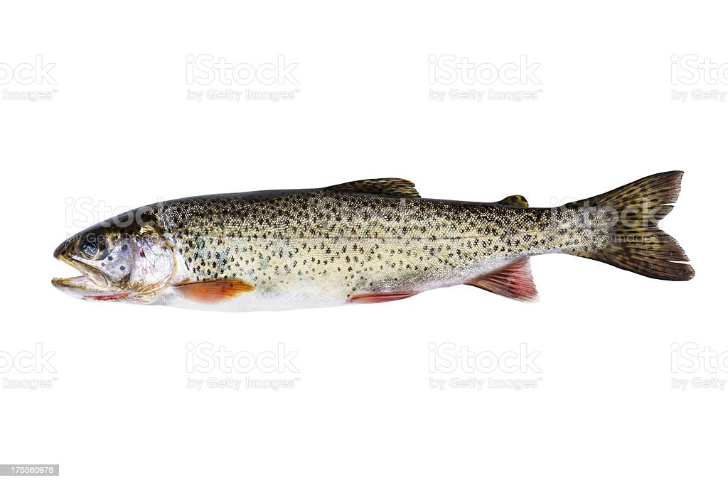 Cutthroat Trout in Perfect Condition on white background stock photo