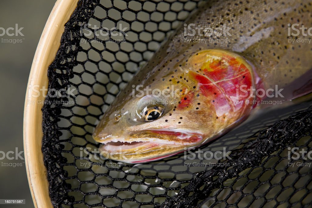 Cutthroat Trout - Oncorhynchus clarki lewisi royalty-free stock photo