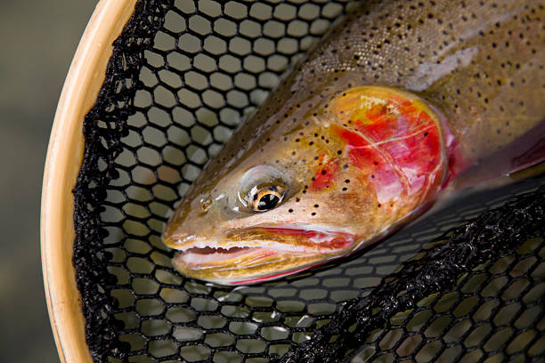 Cutthroat Trout - Oncorhynchus clarki lewisi A finespotted westslope cutthroat trout (oncorhynchus clarki lewisi) in a net about to be released. cutthroat stock pictures, royalty-free photos & images