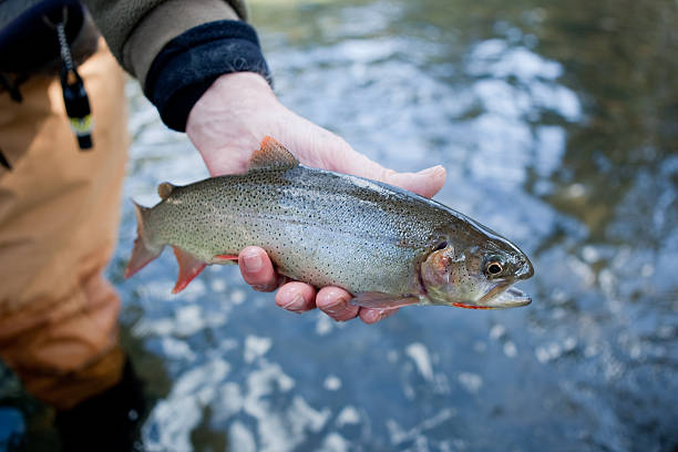 Cutthroat trout Salmon river cutthroat trout cutthroat stock pictures, royalty-free photos & images