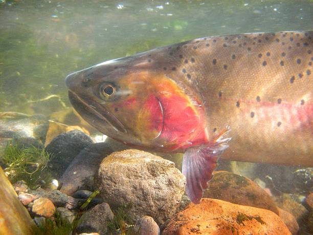 Cutthroat Trout a Yellowstone Cutthroat Trout swims up an inlet creek to spawn in Yellowstone National Park cutthroat stock pictures, royalty-free photos & images