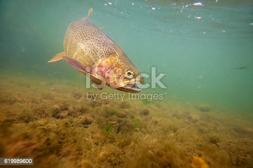 Underwater shot of a beautiful cutthroat trout in the Snake River.