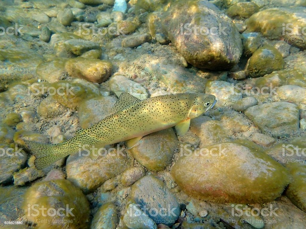 Cutthroat Trout stock photo