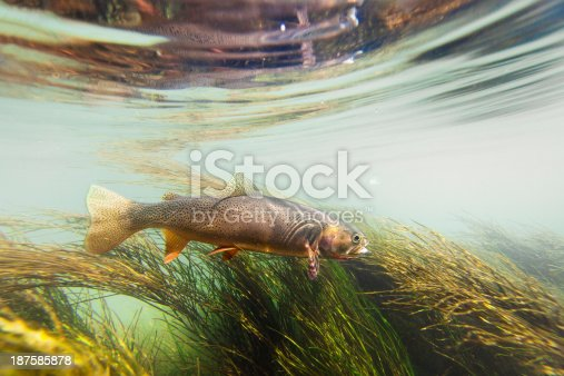 An underwater view of a cutthroat trout in a stream swimming amongst the seaweed.