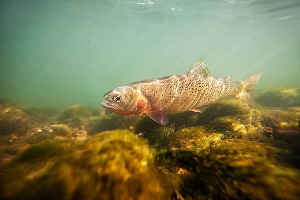 Purpurforellen Unterwasser – Foto
