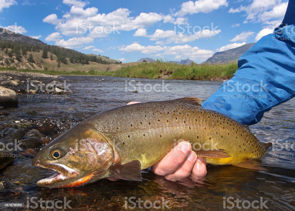 Cutthroat Trout With River and Mountains in The Background. royalty-free stock photo
