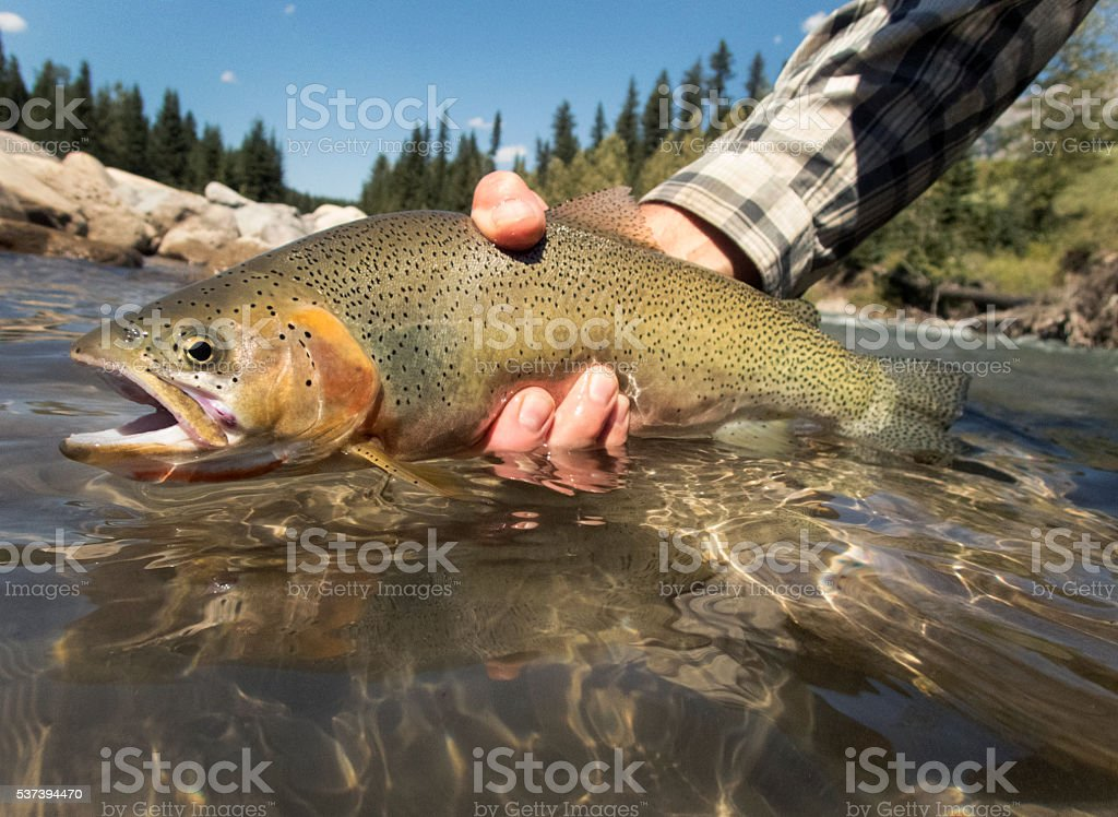 Cutthroat Trout With River and Mountains in The Background. stock photo