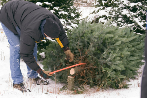 Cutting down the Christmas tree