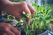 Cutting Fresh Sage