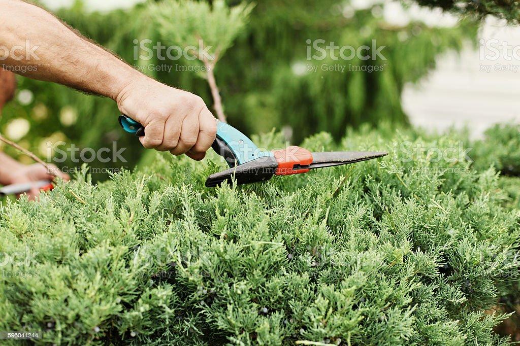 Cutting juniper. Someone trimming bushes with garden scissors....