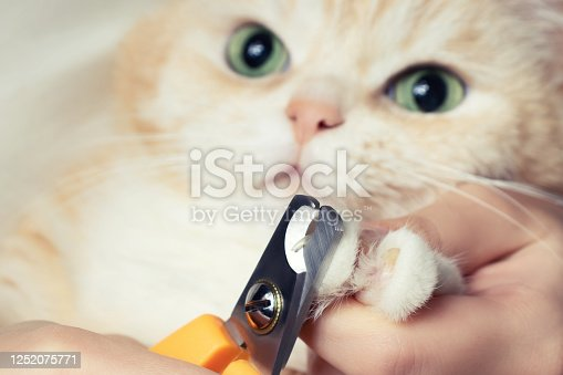 istock Cutting the claws of a cute creamy British cat. Pet care, grooming concept 1252075771