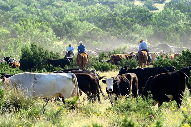 Cutting the dry cows picture id91532345?b=1&k=6&m=91532345&s=612x612&w=0&h=yc6rem4jfhyd1ajjby59a6f8qmsskf2sqiv5xpl9psu=