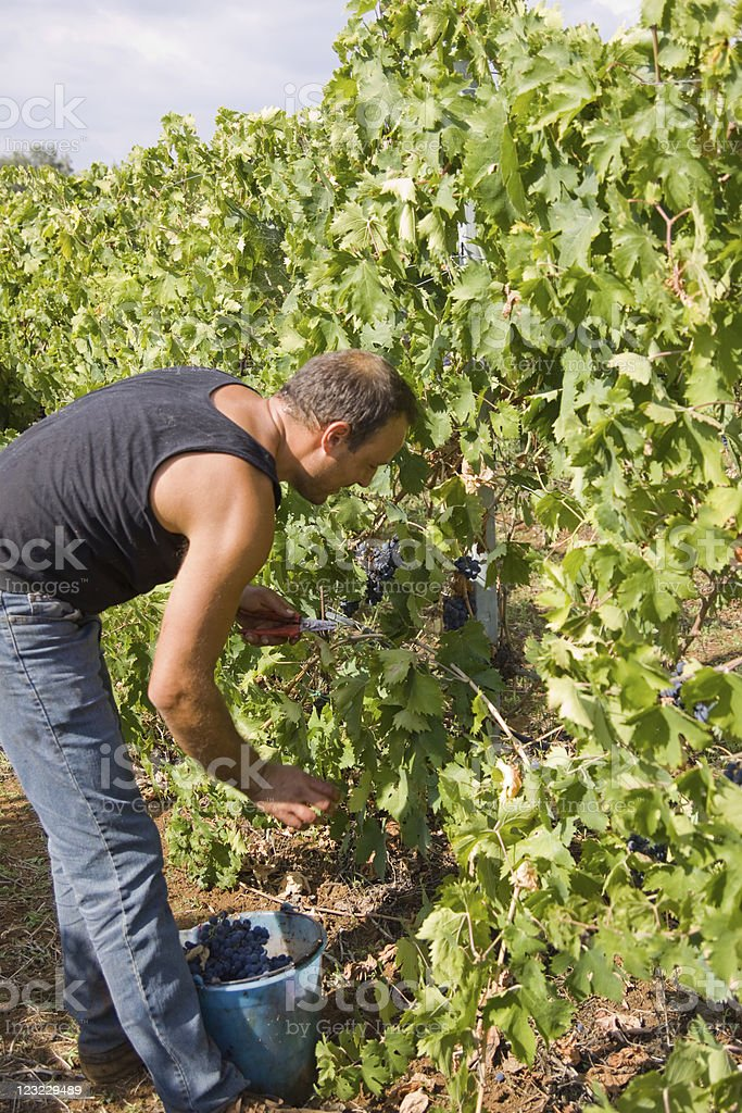cutting the grapes royalty-free stock photo