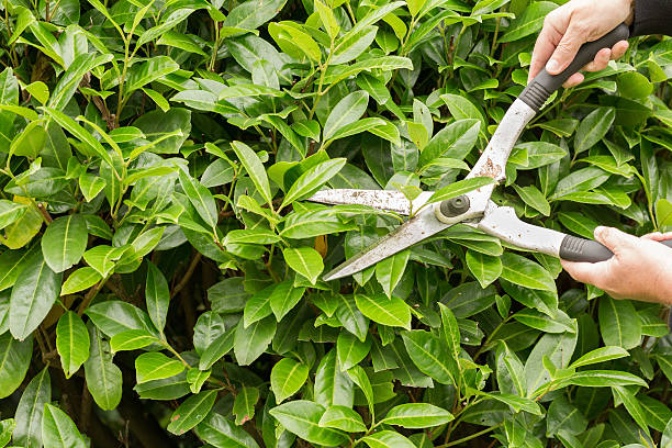 Cutting the hedge stock photo