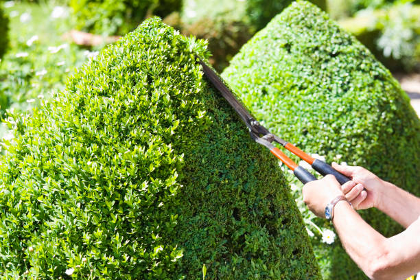 Cutting the Topiary stock photo
