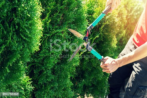 cutting thuja tree with garden hedge clippers