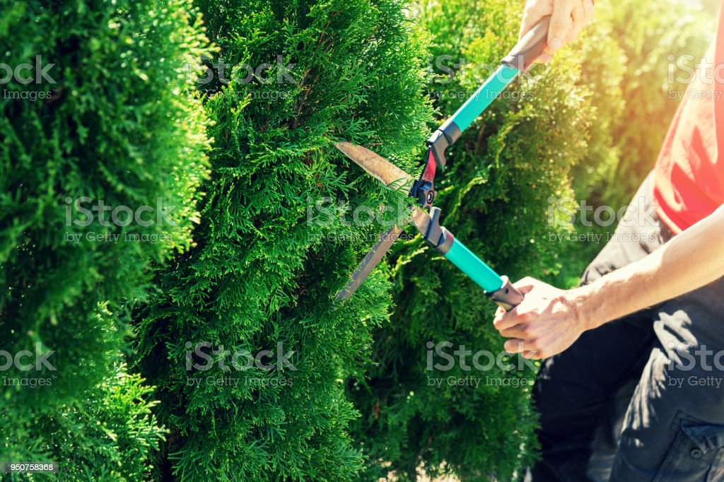cutting thuja tree with garden hedge clippers stock photo