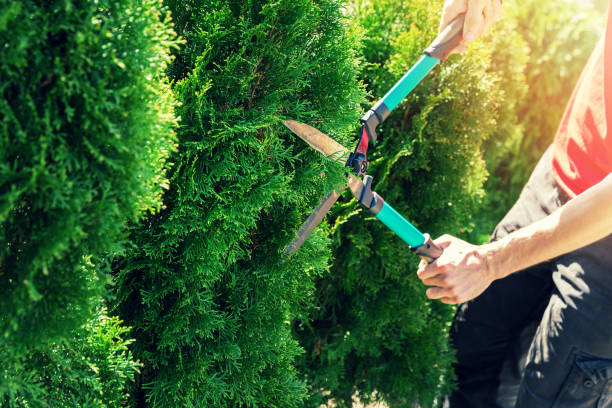 cutting thuja tree with garden hedge clippers - cutter stock pictures, royalty-free photos & images