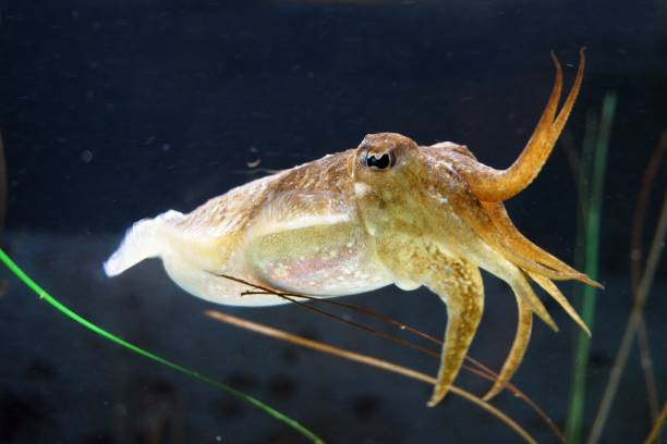 Cuttle fish in the ocean Cuttle fish in the ocean. Yellow orange. Dark background. cuttlefish stock pictures, royalty-free photos & images