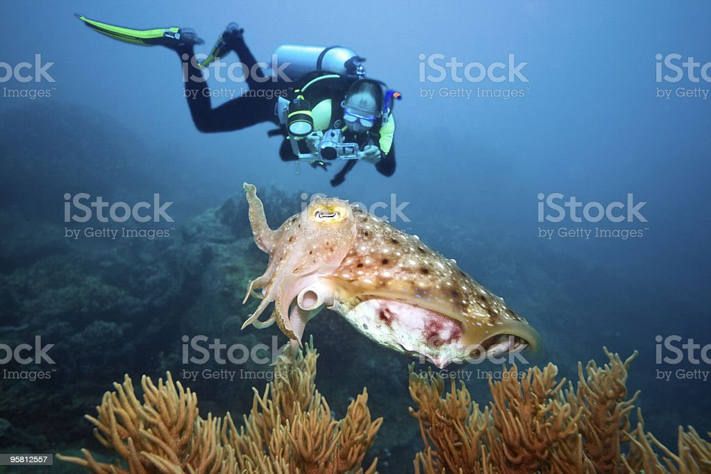 Cuttlefish and diver royalty-free stock photo