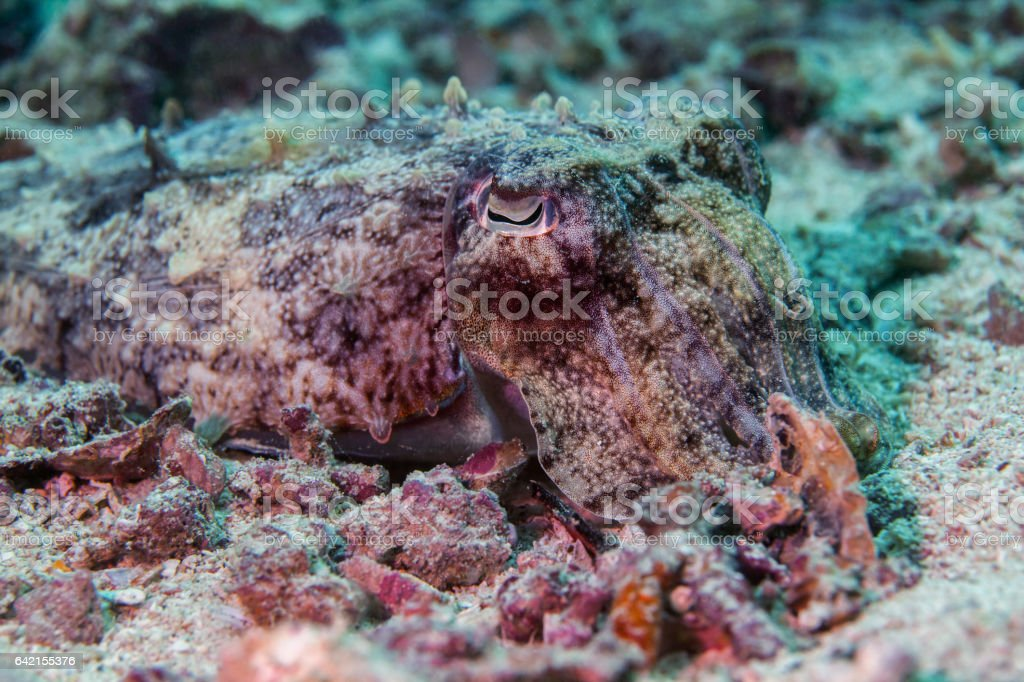 Cuttlefish close-up. Sipadan island. Celebes sea. Malaisia. stock photo