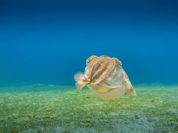 Cuttlefish hovering above the sea grass with clear blue sea in the background. stock photo