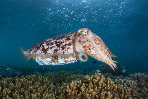 Cuttlefish Hovering Over Reef A Broadclub cuttlefish, Sepia latimanus, hovers above a coral reef in Raja Ampat, Indonesia. Cuttlefish have the ability to change their color to communicate or to camouflage themselves. cuttlefish stock pictures, royalty-free photos & images