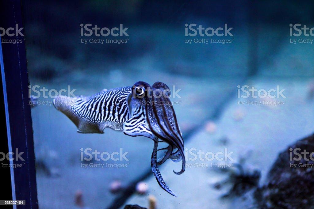 Cuttlefish in the aquarium - foto de acervo