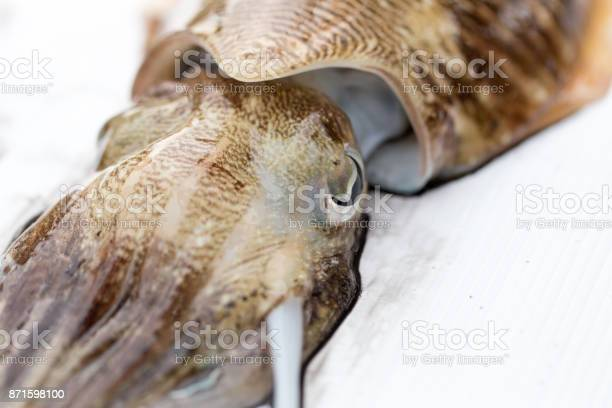 Cuttlefish or cuttles are marine animals of the order sepiida they picture id871598100?b=1&k=6&m=871598100&s=612x612&h= hff5mlms481mnlncdibnaeshut4i80con7cxvuj6sa=