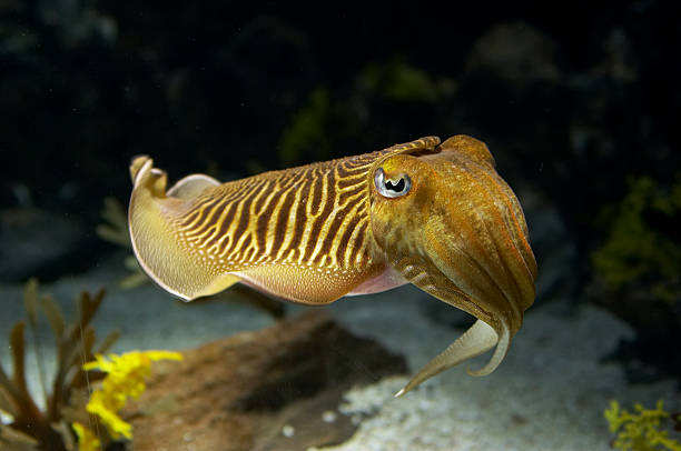 Cuttlefish Cuttlefish. cuttlefish stock pictures, royalty-free photos & images