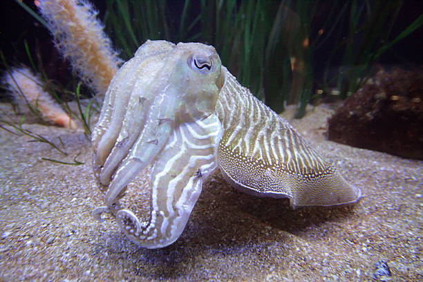 Cuttlefish Cuttlefish are marine animals of the order Sepiida belonging to the class Cephalopoda (which also includes squid, octopuses, and nautiluses). Despite their common name, cuttlefish are not fish but molluscs. bobtail squid stock pictures, royalty-free photos & images