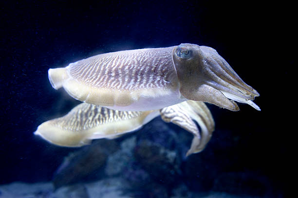 Cuttlefish Couple of cuttlefish. bobtail squid stock pictures, royalty-free photos & images