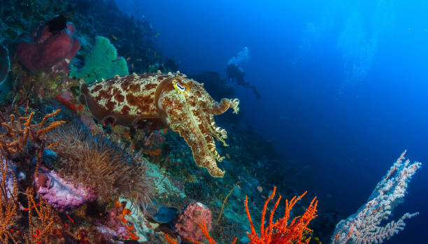 Cuttlefish Cuttlefish cuttlefish stock pictures, royalty-free photos & images