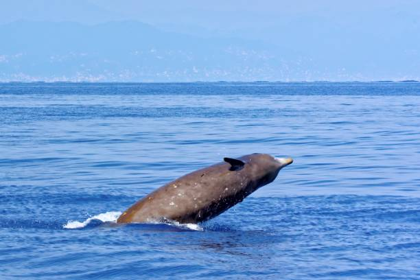 Cuvier's beaked whale stock photo
