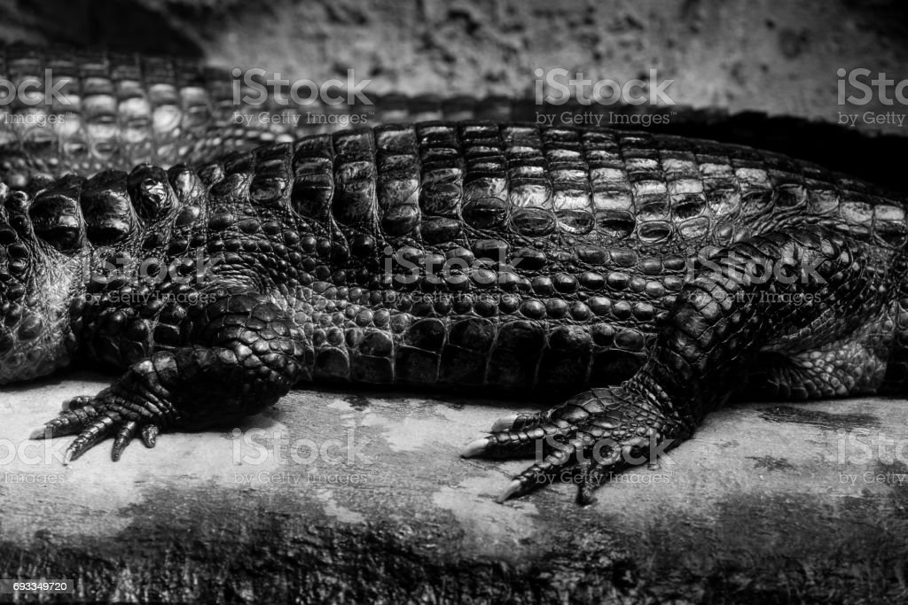 cuvier's dwarf caiman - black and white animals portraits stock photo