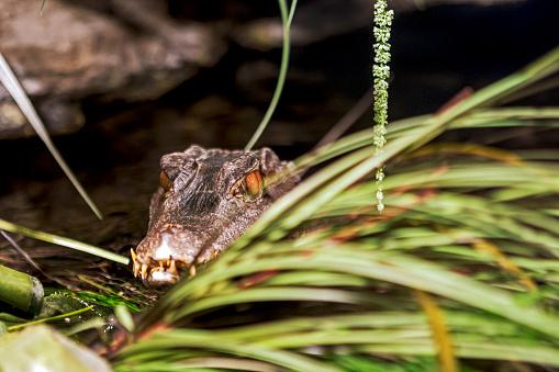 Cuvier's dwarf caiman (Paleosuchus palpebrosus) in water