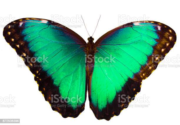 Cyan butterfly isolated on white background with spread wings picture id872538396?b=1&k=6&m=872538396&s=612x612&h=0su8gtmjjsoeisoynahene59nsf4sdp sf5wbk63wiw=
