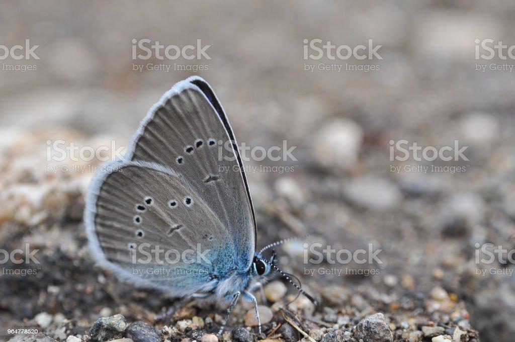 Cyaniris semiargus, Mazarine Blue butterfly royalty-free stock photo