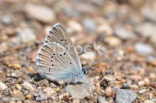 Cyaniris Semiargus Mazarine Blue Butterfly Stock Photo & More Pictures of Animal