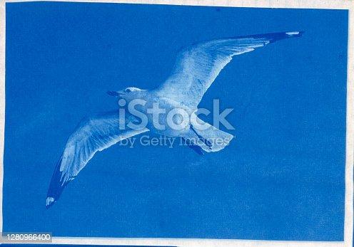 Cyanotype print of ring-billed gull, Larus delawarensis, flying.