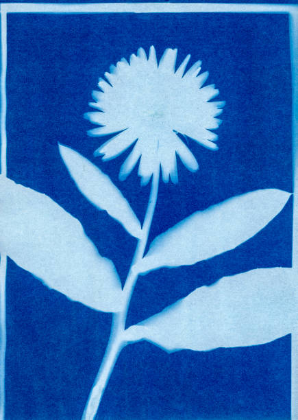 cyanotype of Calendula officinalis stock photo